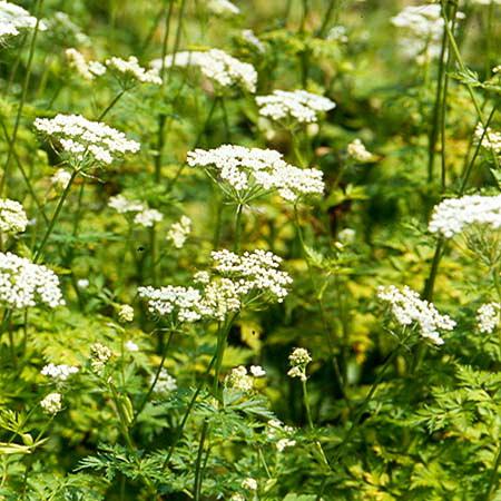 Selernica - te zioła podnoszą libido