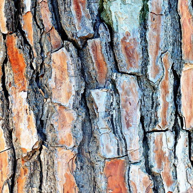 wyciąg z kory sosny śródziemnomorskiej