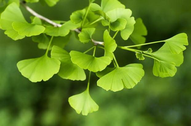 Miłorząb dwupłatowy często jest stosowany w lekach ziołowych na potencję