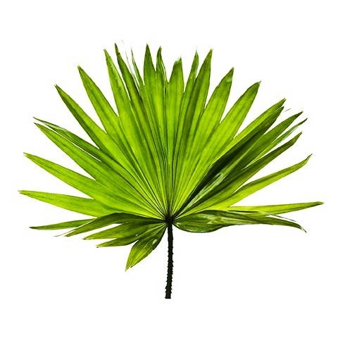 palma sabałowa - jedno z ziół na potencję