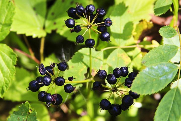 Korzenie kolcorośli to niedocenione zioła na potencję