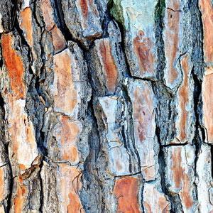 wyciąg z kory sosny śródziemnomorskiej - dobre zioła na popęd seksualny
