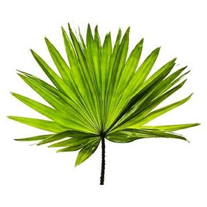 palma sabałowa - jedno z ziół dla mężczyzn